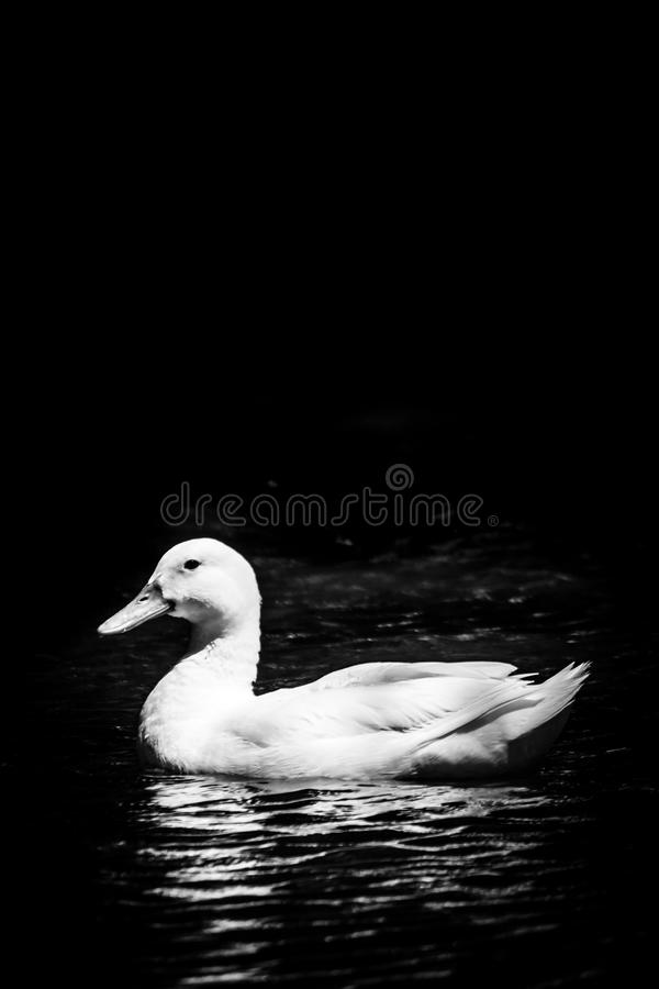 Duck Pond - das Constantia lizenzfreies stockbild