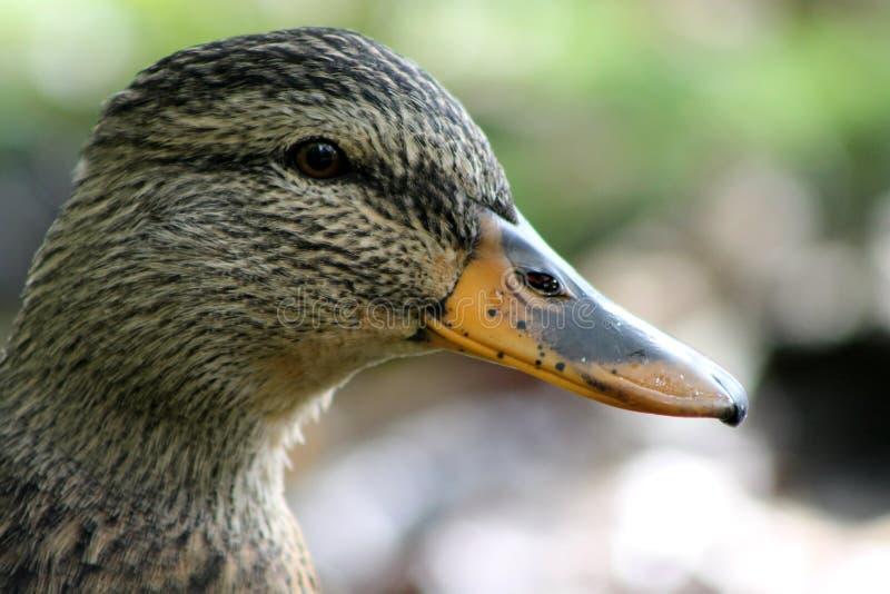 Duck Portrait royaltyfria bilder