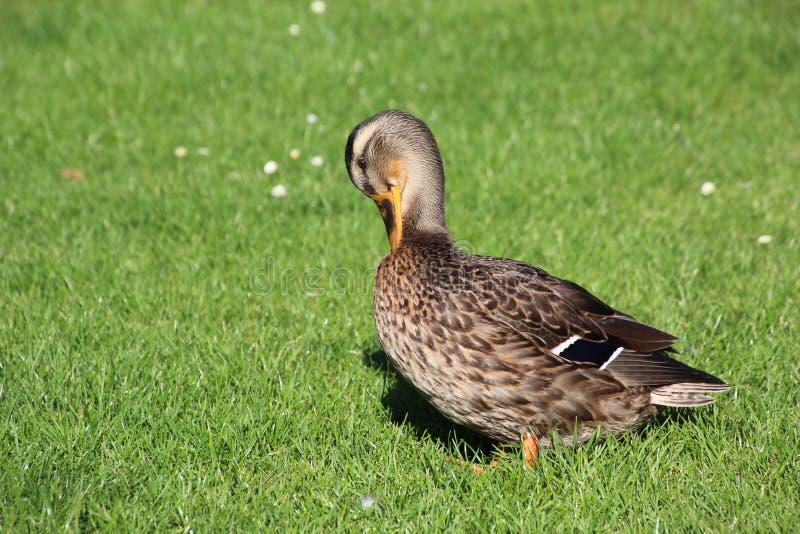 Duck Portrait fotografia de stock