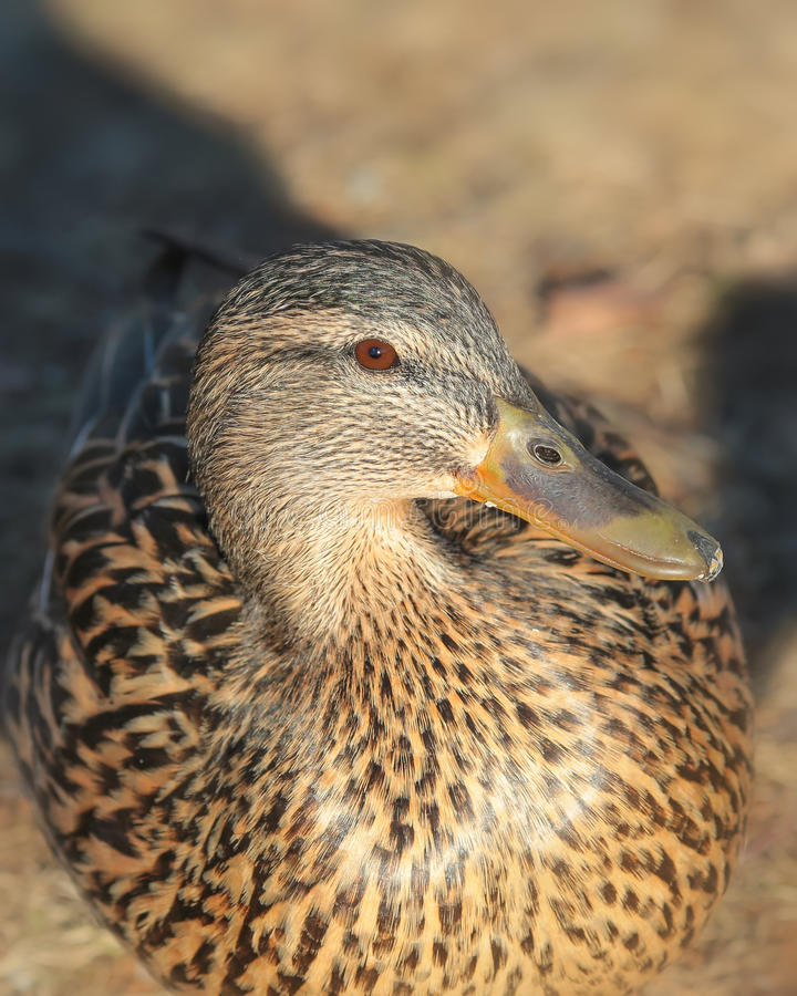 Duck Portrait image stock