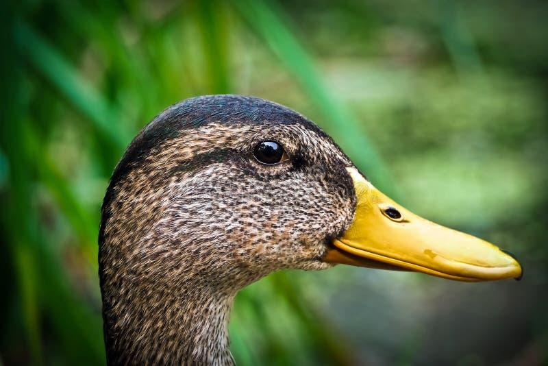 Duck Portrait fotografering för bildbyråer