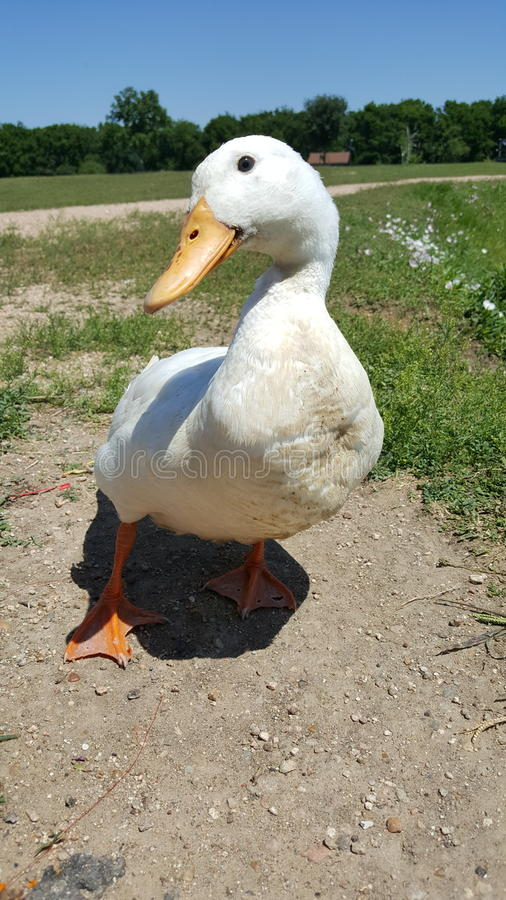 Duck pose stock photography