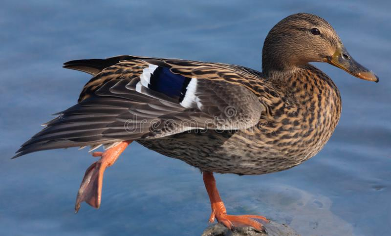Duck posing in balance on a rock royalty free stock photography