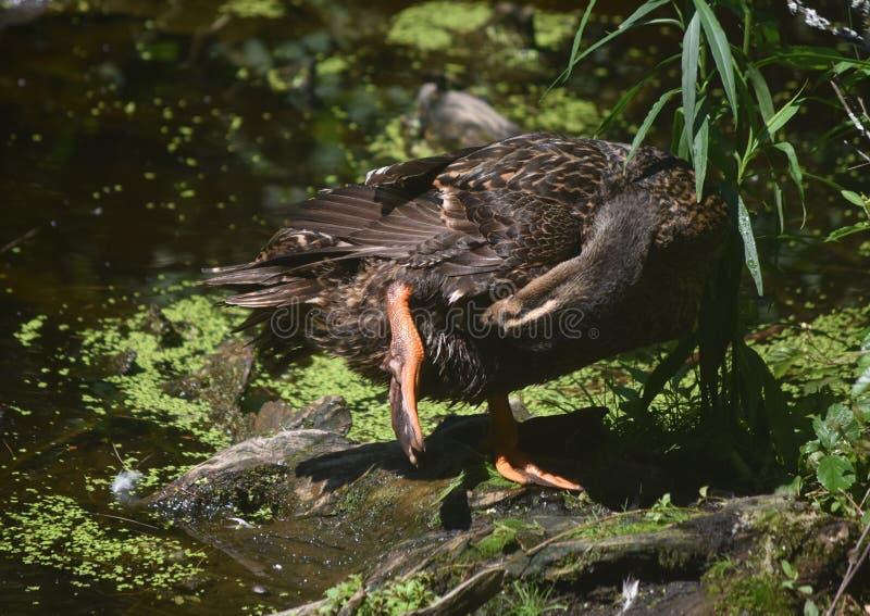 Duck Preening Feathers auf seiner Unterseite nahe einem Teich lizenzfreies stockbild