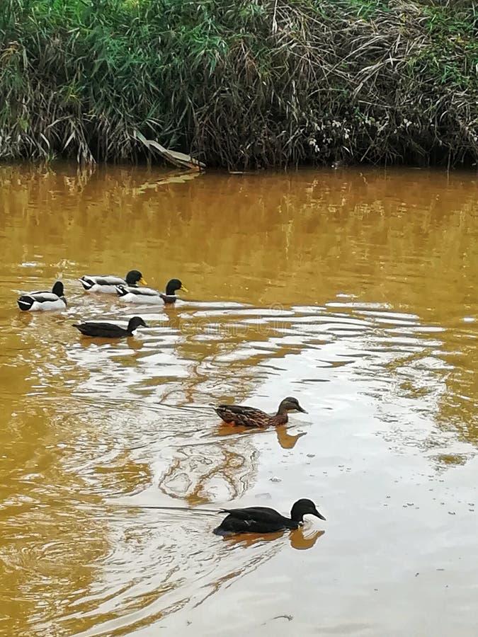 Duck Race image stock