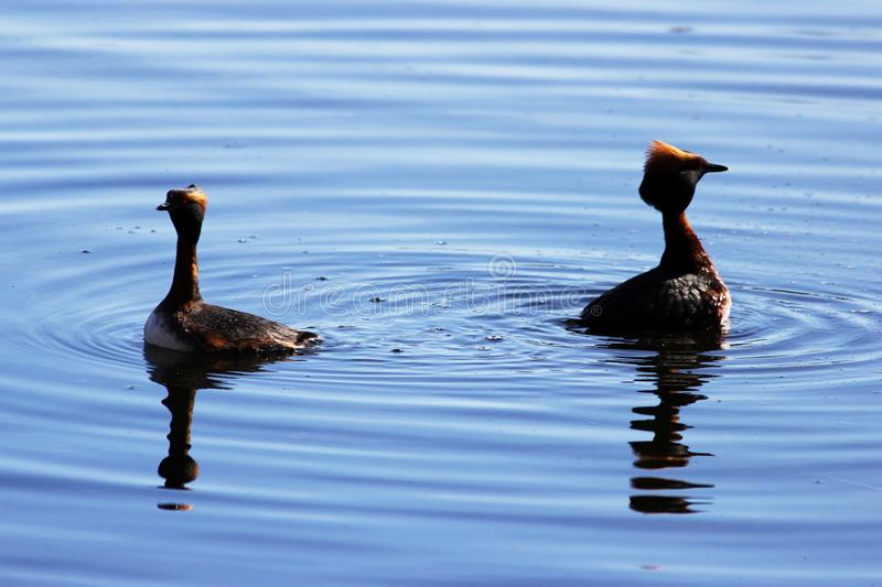 Duck with red heads on his head Horned Slavonian grebe Podiceps auritus. marital games and dances of male and female. Gatchina Whi. Te Lake royalty free stock images