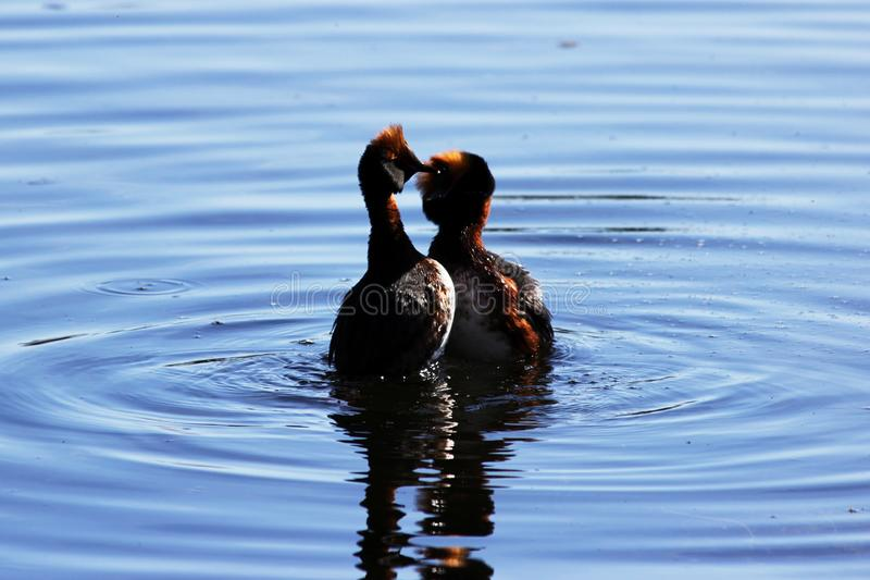Duck with red heads on his head Horned Slavonian grebe Podiceps auritus. marital games and dances of male and female. Gatchina Whi. Te Lake stock image
