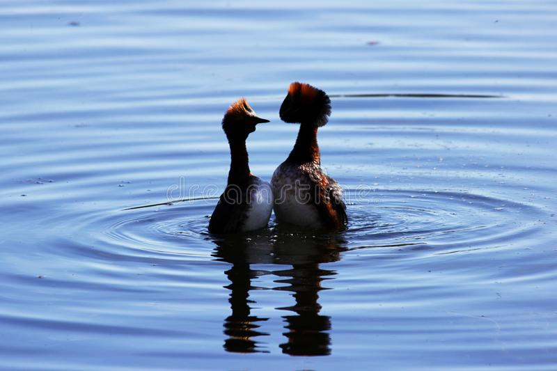 Duck with red heads on his head Horned Slavonian grebe Podiceps auritus. marital games and dances of male and female. Gatchina Whi. Te Lake stock photos