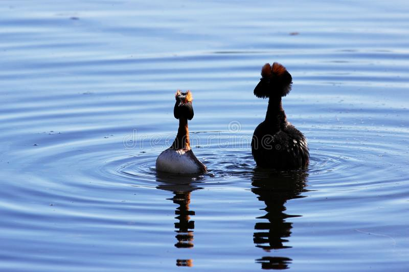 Duck with red heads on his head Horned Slavonian grebe Podiceps auritus. marital games and dances of male and female. Gatchina Whi. Te Lake stock photo