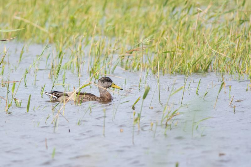 Duck in reed bed. Mallard or greenhead in transitional plumage swimming in reed bed stock photo