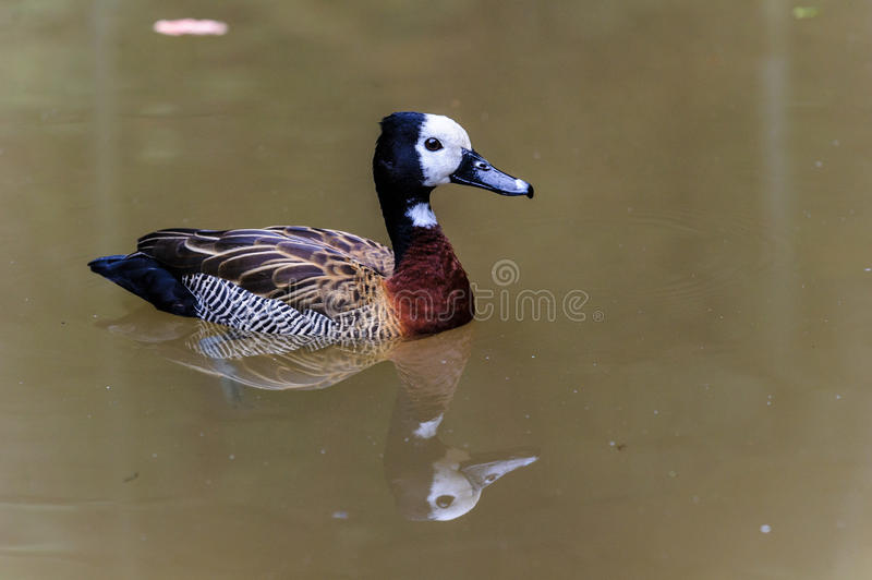 Duck. With a reflection on a river stock images