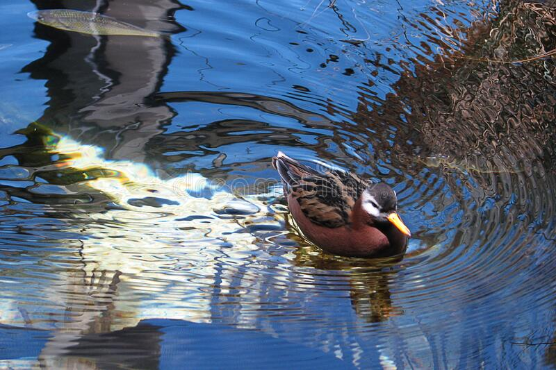 duck with reflections royalty free stock photography