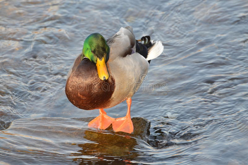 Duck. A duck resting on a rock in water royalty free stock image