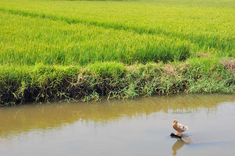 Duck In The Rice Paddy Royalty Free Stock Images
