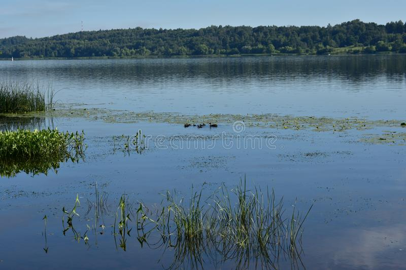 Duck river with ducklings floating in water lilies between the forest shores on the coast royalty free stock photos