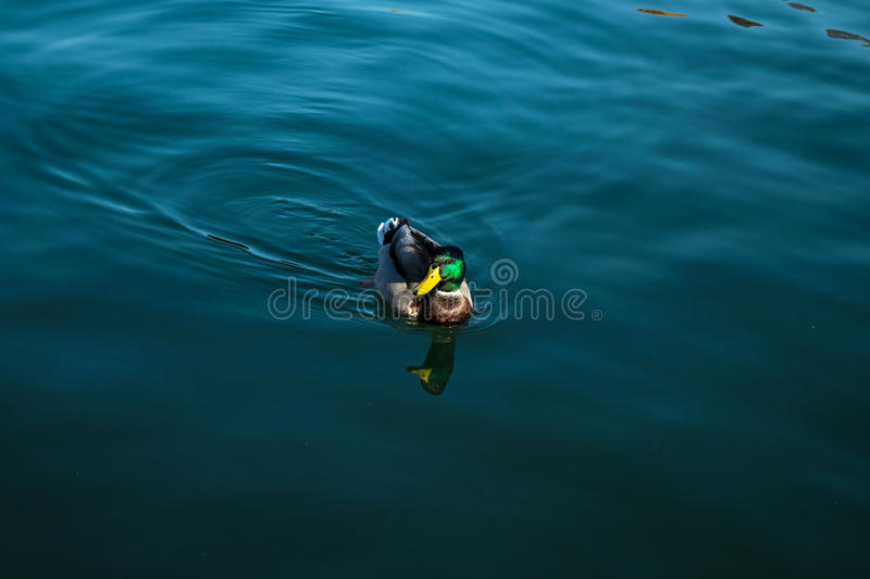 Duck in River. royalty free stock image