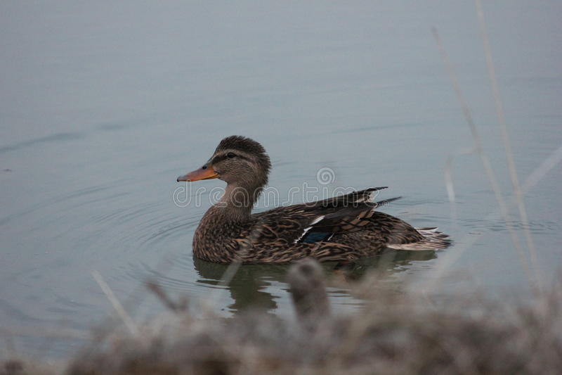 Duck. Russia. Duck decoy for hunting royalty free stock photography
