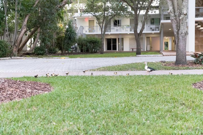 Duck`s family on the walk.  stock photography