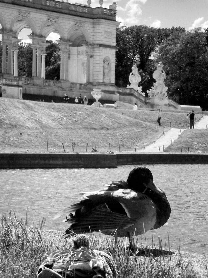 Duck in Schönbrunn Castle, Vienna royalty free stock photography
