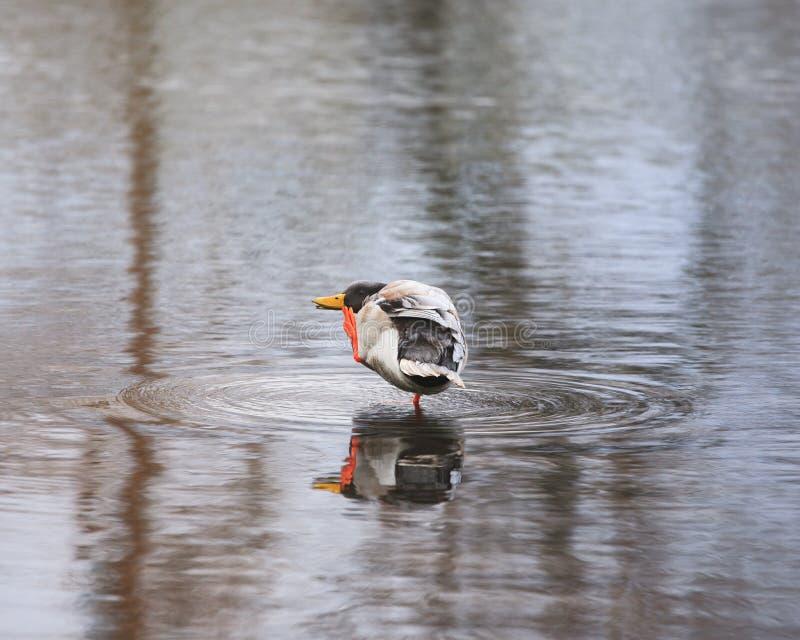 Duck In Shallow Water immagine stock libera da diritti