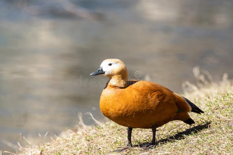 Duck on the shore. Wild brown duck on green field., beautiful bright duck with brown red plumage and black beak on spring Sunny day royalty free stock images