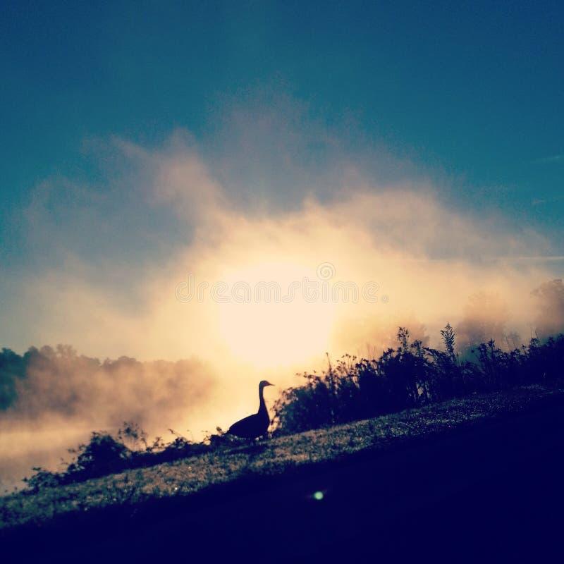 Duck Silhouette solo sulla mattina nebbiosa immagini stock