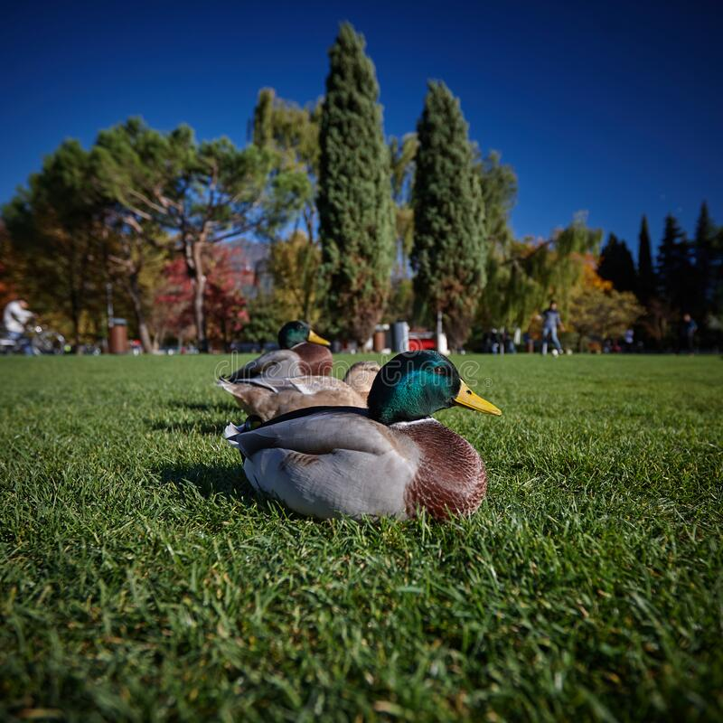Duck sit under the sun on green grass royalty free stock photos