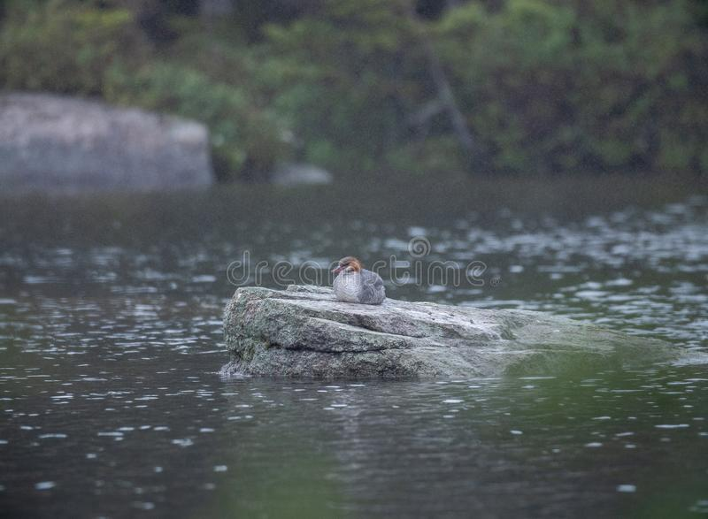 Duck Sitting On ein Felsen im Regen stockbild