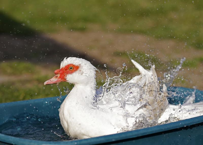 Duck splashing with water droplets royalty free stock images