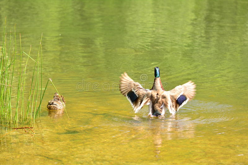 Duck spreading wings. stock photos