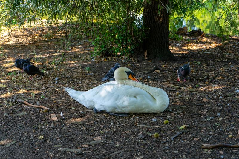 Duck on St James Park in London, UK.  royalty free stock photos