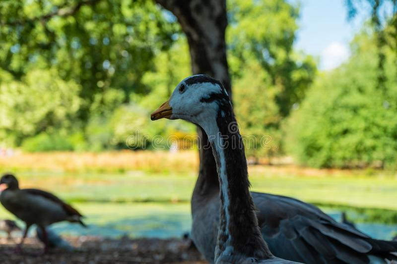 Duck on St James Park in London, UK.  stock photography