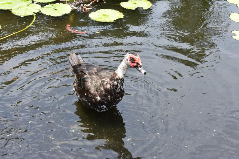 Duck Standing en agua poco profunda en una charca del lirio imagen de archivo