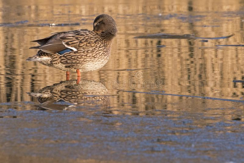 Download A Duck Standing On The Ice  Southampton Stock Photo - Image of ornamental, winter: 109373074