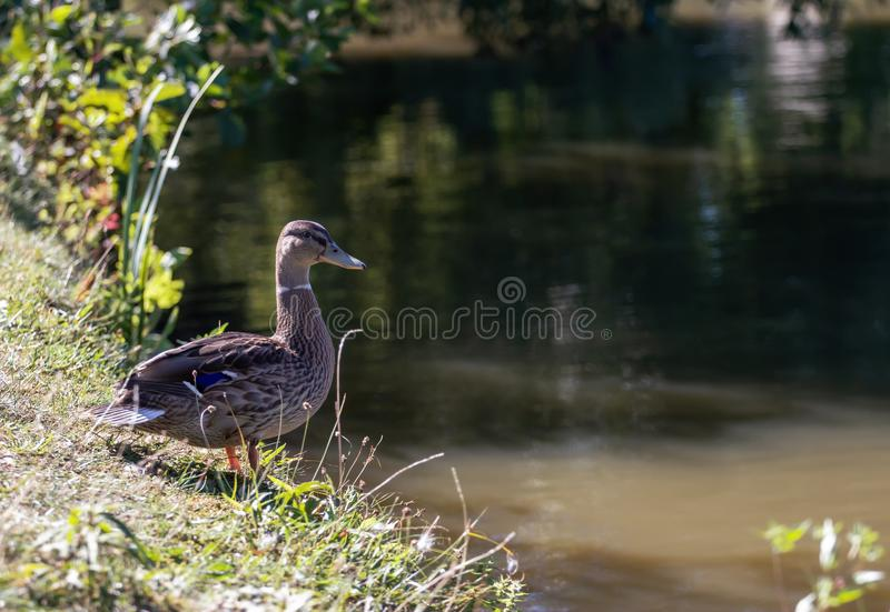 Duck is standing by the pond.  stock photo