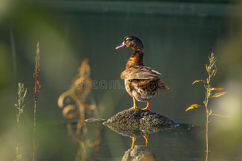 Duck standing on a rock in a pond stock photography