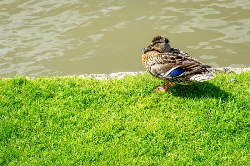 A duck stands on its paws on the shore of river cam. Mallard, lat. Anas platyrhynchos royalty free stock photos