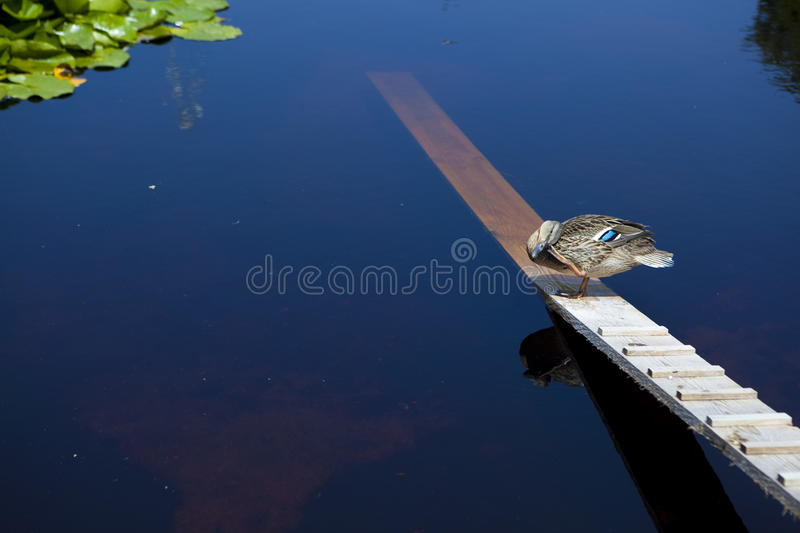Download Duck staying on a plank stock photo. Image of feathered - 12836632