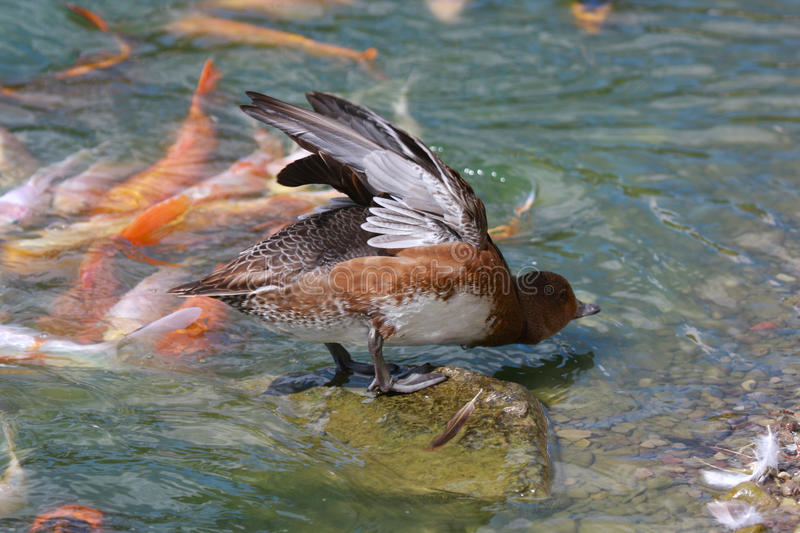 Download Duck Stretching stock image. Image of standing, feathers - 26317851