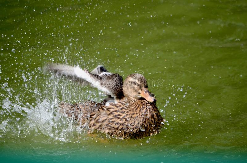 A duck in a pond flaps its wings splashing water. royalty free stock photos