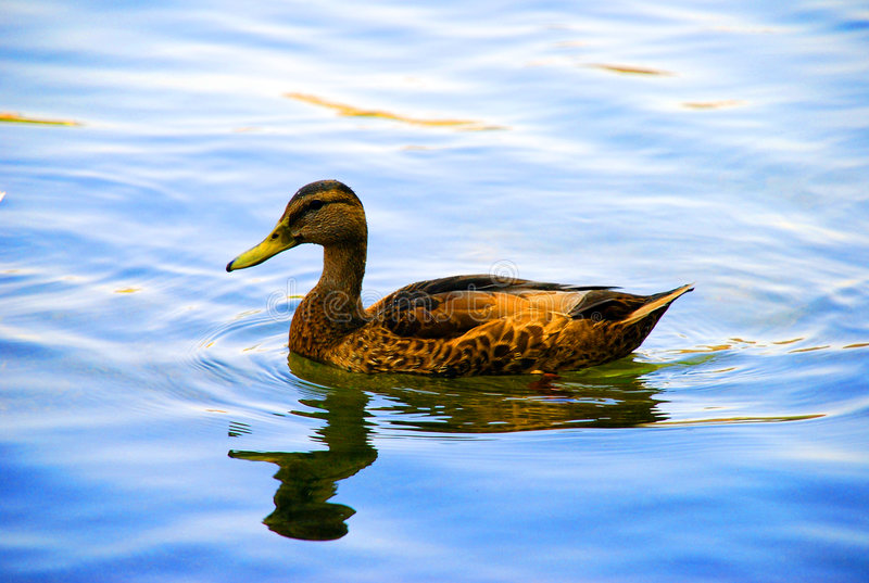 Duck at sunset royalty free stock images
