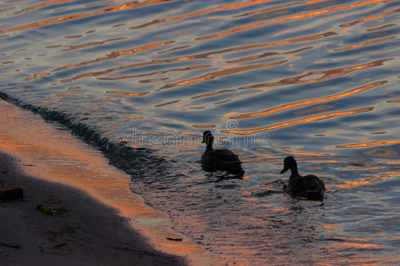 Duck swimmimg in the water. Orange sunset royalty free stock images