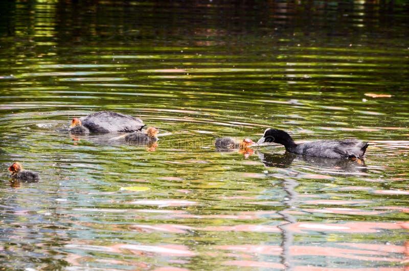Duck Swimming imagen de archivo libre de regalías