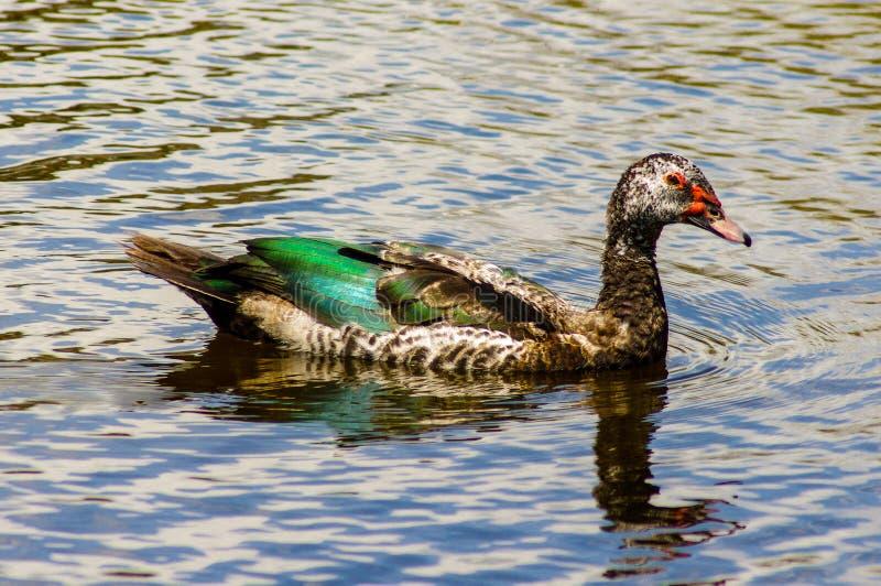 Duck Swimming stock afbeeldingen