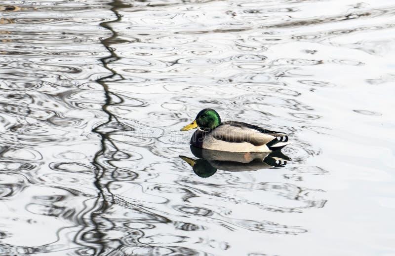 Duck Swimming fotos de archivo