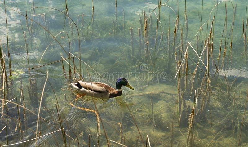 Duck swimming in calm and transparent water stock image