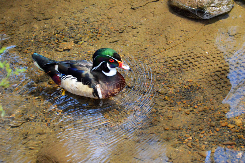 Duck swimming in crystal clear water royalty free stock images