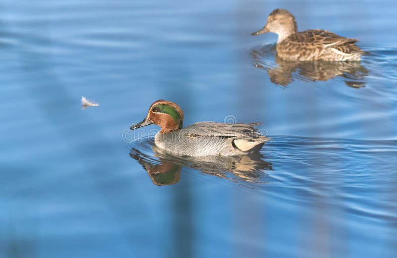 Duck swimming royalty free stock images