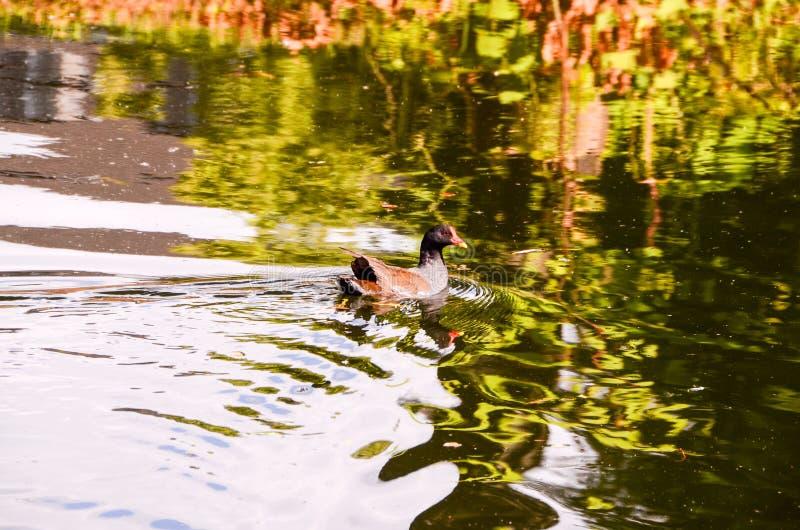 Duck Swimming foto de archivo