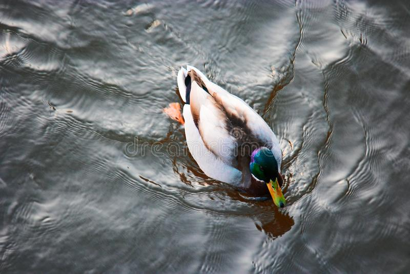 Duck Swimming In Freshwater Pond sauvage au-dessus de vue photos stock